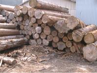 木曽谷にて生育した、木曽檜、さわら、高野槙等の原木
