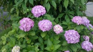 工場の傍の紫陽花